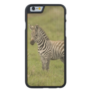 Young Zebra In The Serengeti Plain Carved Maple iPhone 6 Slim Case