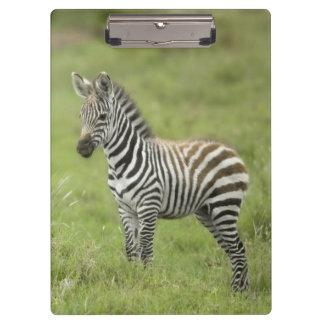 Young Zebra In The Serengeti Plain Clipboard
