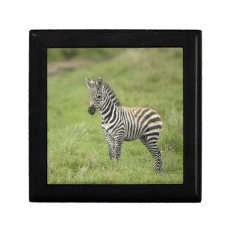 Young Zebra In The Serengeti Plain Gift Box