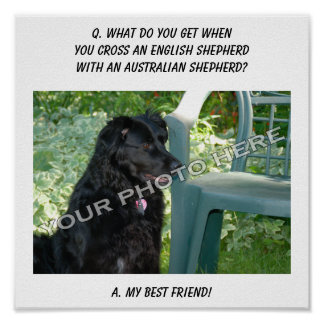 Your Photo Here! Best Friend English Shepherd Mix Posters