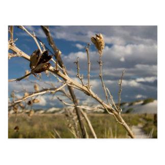Yucca Pod - Postcard