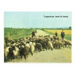 Yugoslavia, herd of sheep post card