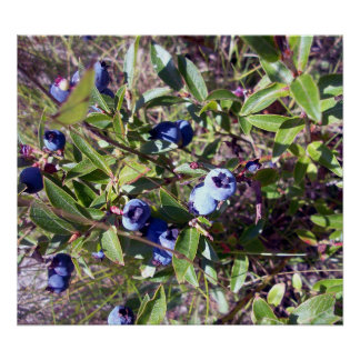 Yummy Blueberries Poster