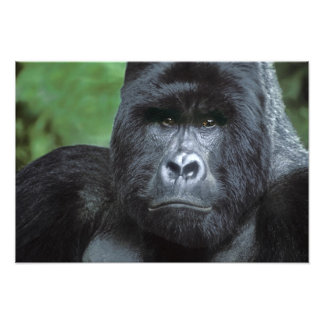 Zaire, parque nacional de Virungas. Retrato de Cojinete