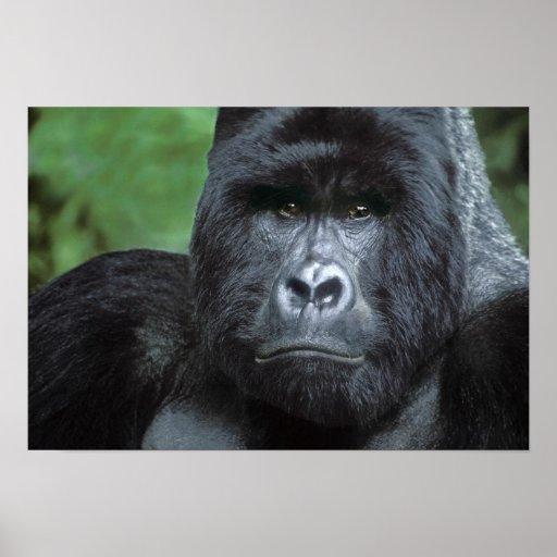Zaire, parque nacional de Virungas. Retrato de Posters