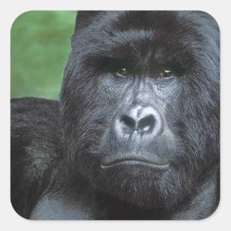 Zaire, parque nacional de Virungas. Retrato de Pegatina Cuadrada