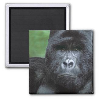 Zaire, Virungas National Park. Portrait of 2 Inch Square Magnet