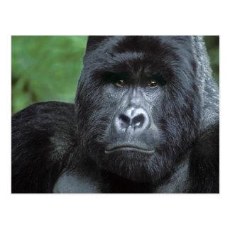 Zaire, Virungas National Park. Portrait of Postcard