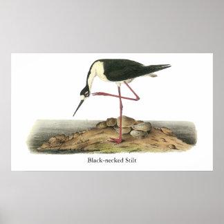 Zanco Negro-Necked Juan Audubon Posters