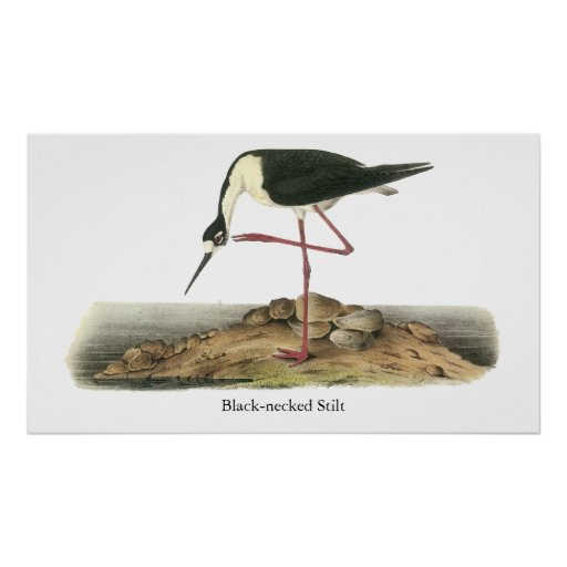 Zanco Negro-Necked, Juan Audubon Posters