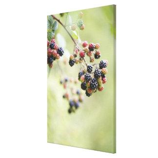 Zarzamoras que crecen al aire libre impresión en lona estirada