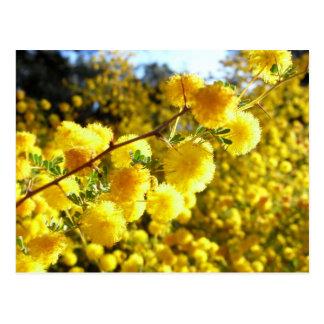 Zarzo de oro, postal nativa australiana de la flor