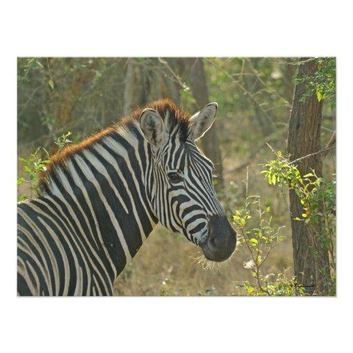 Zebra 1 Photo Print