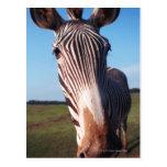 zebra 2 postcard