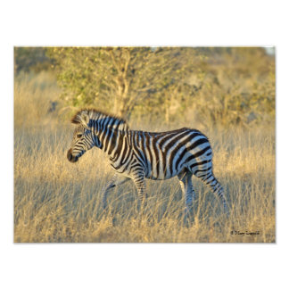 Zebra 7 Photo Enlargement