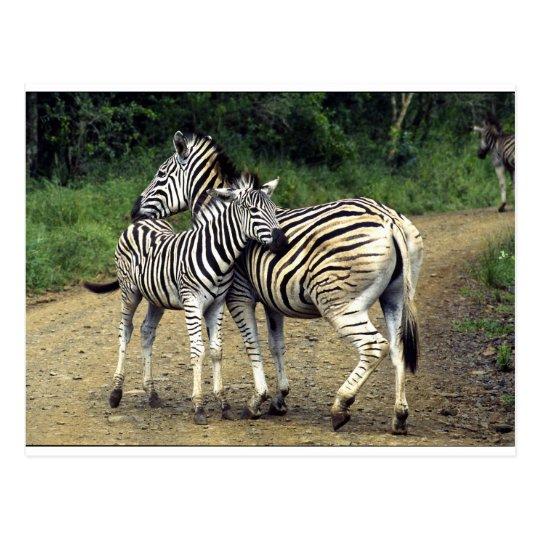zebra and Baby Postcard