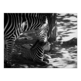 zebra and cub posters