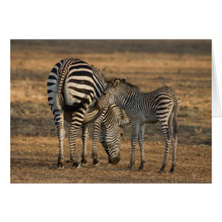 Zebra and foal - South Luwanga Card