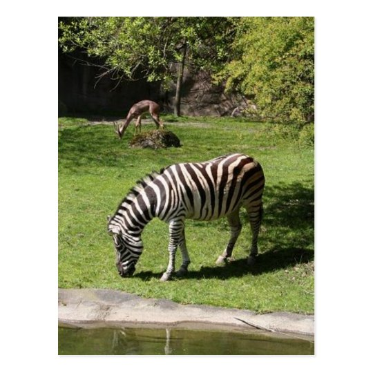 Zebra and Gazelle Postcard