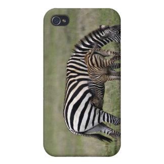 Zebra and nursing foal, Tanzania iPhone 4/4S Cases