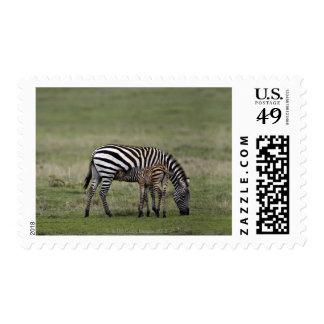 Zebra and nursing foal, Tanzania Postage