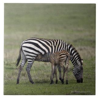 Zebra and nursing foal, Tanzania Tile
