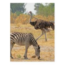 Zebra and Ostrich TomWurl.jpg Postcard