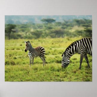 Zebra and zebra foal wildlife poster