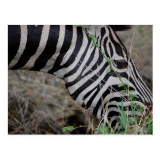 Zebra at Kruger Postcard