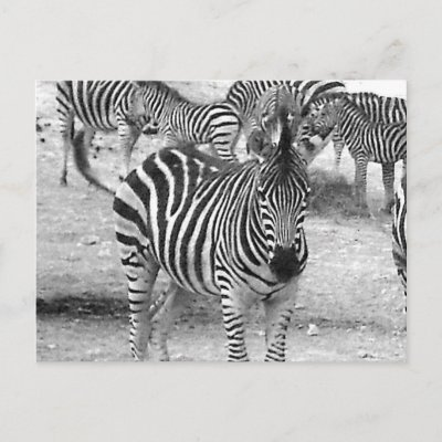quotes about zebras. Zebra at the zoo post card by