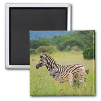 Zebra baby and mom magnet