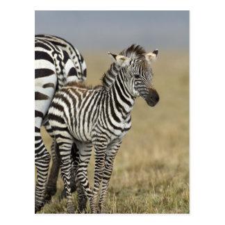 Zebra baby post cards