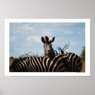 Zebra blue sky color photo photography print