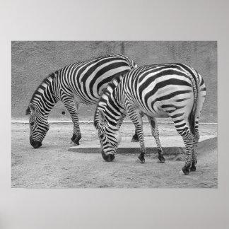 Zebra Buddies Print
