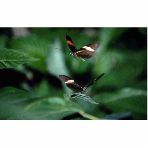 Zebra butterflies, Heliconius charitonius Acrylic Cut Out