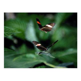 Zebra butterflies, Heliconius charitonius Postcard