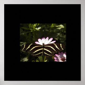 Zebra Butterfly Black Border Poster