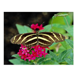 Zebra butterfly, Heliconius charitonius  flowers Postcard