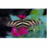 Zebra butterfly, Heliconius charitonius Photo Cut Outs