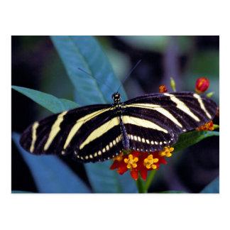 Zebra butterfly, Heliconius charitonius Postcard