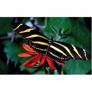 Zebra butterfly on Mexican flaming vine flower Photo Cutouts
