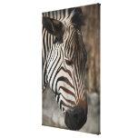 Zebra, close-up canvas print