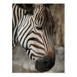 Zebra, close-up postcard
