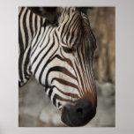 Zebra, close-up poster