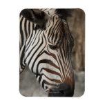 Zebra, close-up rectangle magnets