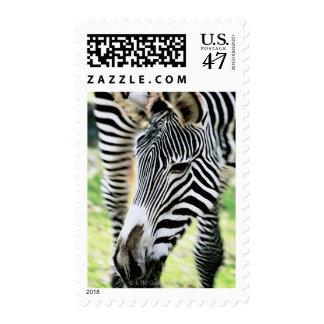 Zebra, close-up, selective focus postage stamp