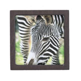Zebra, close-up, selective focus premium jewelry box