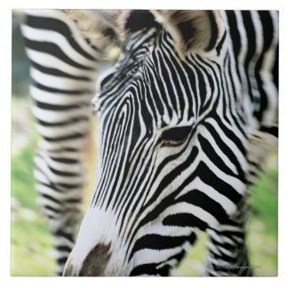 Zebra, close-up, selective focus tile