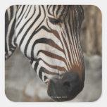 Zebra, close-up sticker