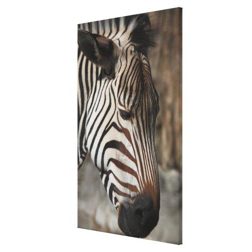 Zebra, close-up stretched canvas prints